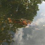 Koi im Japanischen Garten, Leverkusen