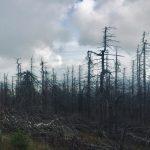 Totholz am Brocken Durch Dürre und Borkenkäfer abgestorbene Fichten am Brocken im Harz - September 2019