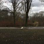 Schwan im Tiergarten, Berlin, Februar 2020