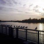 Möwen an der Werft am Stammheimer Ufer Köln-Mülheim